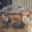 Kathmandu, March 18, 2012: The Animal Health Directorate of Nepal has confirmed and contained bird flu at a poultry farm in Dallu, Kathmandu here on Saturday. Hundreds of livestock was […]