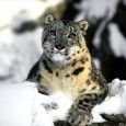 Hiding in the existence of high altitude, wilderness and serenity, Snow leopard is one the most feared and endangered species.  These wild cats are well known for their reputation of […]