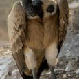 The population of the vulture is alarmingly reducing at the Bardiya national park. According to experts the bearded vulture, Egyptian vulture, white-rumped vulture, cinereous vulture, Himalayan griffon and red-headed vultures […]