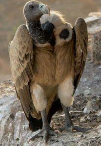Vulture of Ne